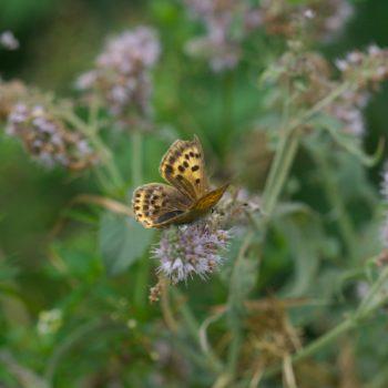 Lycaena phlaeas (Kleiner Feuerfalter)