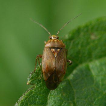 Lygus sp. (Wiesenwanze) - Österreich