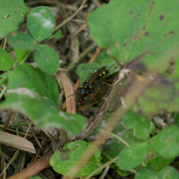 Mellinus arvensis (Kotwespe)