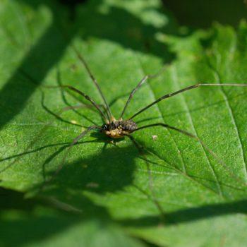 Mitopus morio (Gemeiner Gebirgsweberknecht)