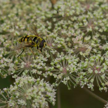 Myathropa florea (Totenkopfschwebfliege)