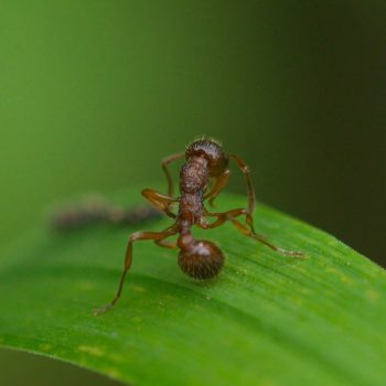 Myrmica sp. (Knotenameise)
