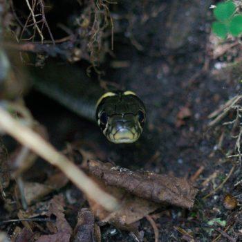 Natrix natrix (Ringelnatter)
