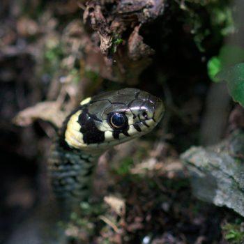 Reptilia (Reptilien) - Pinzgau, Österreich (August 2019)