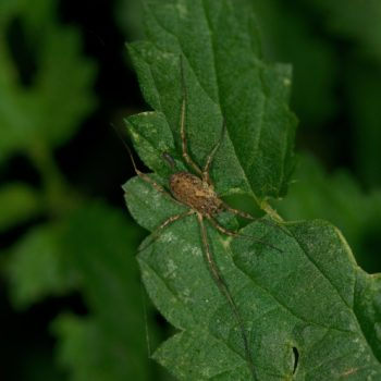 Oligolophus tridens (Gemeiner Dreizackkanker)