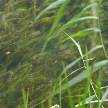 Oncorhynchus mykiss (Regenbogenforelle)