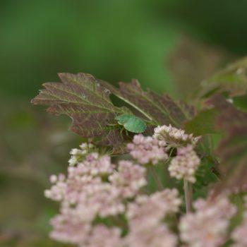 Palomena prasina/viridissima (Baumwanze)