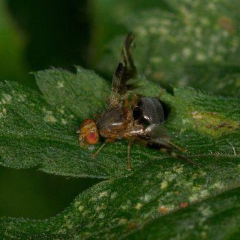 Philophylla caesio (Bohrfliege)