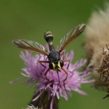 Physocephala sp. (Stildickkopffliege) - Österreich