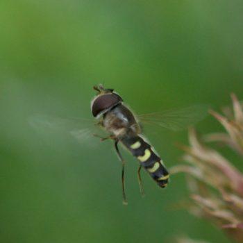 Scaeva selenitica (Frühe Großstirnschwebfliege)