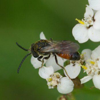 Sphecodes miniatus (Blutbiene)