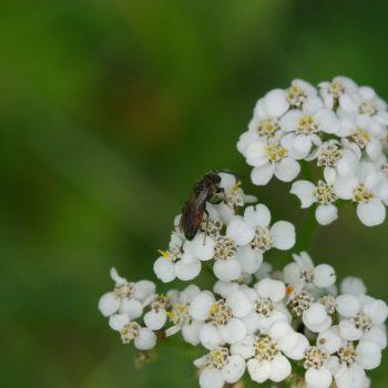 Sphecodes cf. miniatus (Blutbiene)