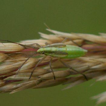 Stenodema holsata (Wiesen-Schmalwanze)