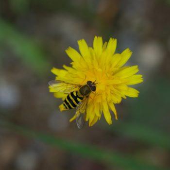 Syrphus ribesii (Große Schwebfliege)