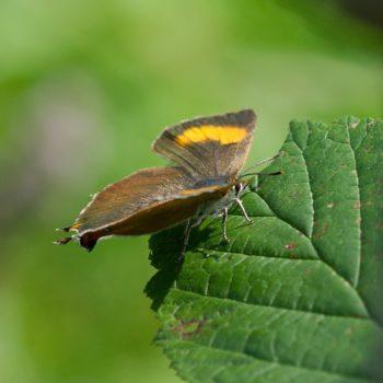 Thecla betulae (Nierenfleck-Zipfelfalter)