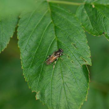 Xylota segnis (Gemeine Langbauchschwebfliege)