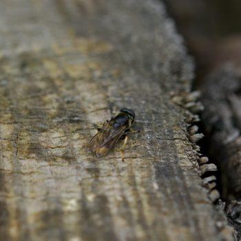 Xylota sylvarum (Goldhaar-Langbauchschwebfliege)