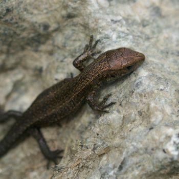 Zootoca vivipara vivipara (Waldeidechse)