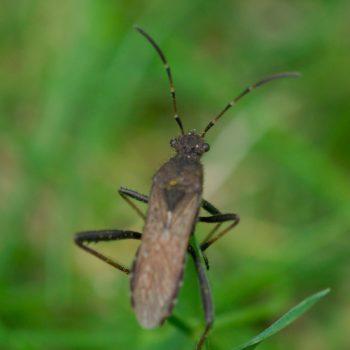 Alydus calcaratus (Rotrückiger Irrwisch)