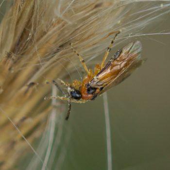 Athaliinae