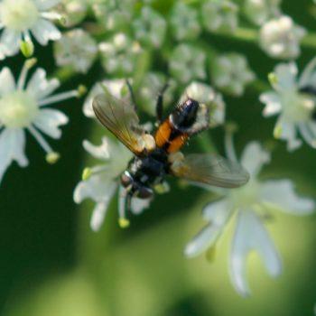 Brullaea ocypteroidea (Raupenfliege)