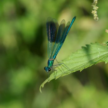 Calopteryx splendens (Gebänderte Prachtlibelle)