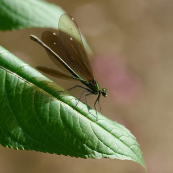 Calopteryx virgo (Blauflügel-Prachtlibelle)