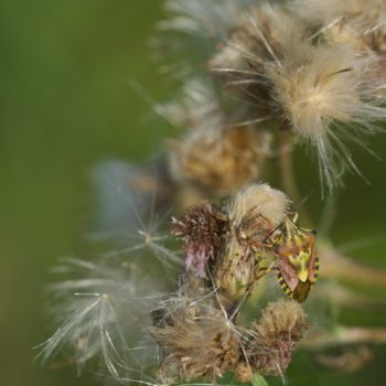 Carpocoris sp. (Fruchtwanze)