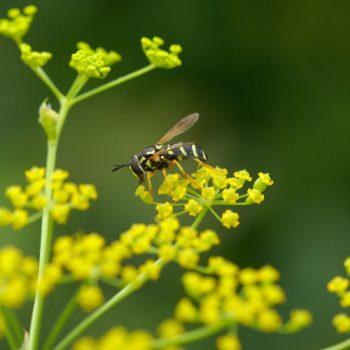 Chrysotoxum festivum (Späte Wespenschwebfliege)