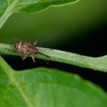 Curculio betulae (Rüsselkäfer)