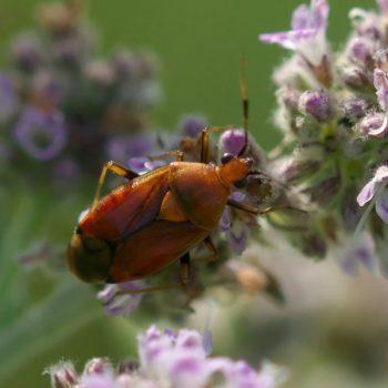 Deraeocoris ruber (Rote Weichwanze)