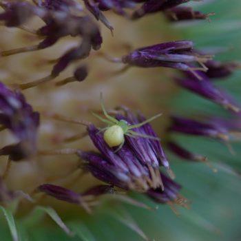 Ebrechtella tricuspidata (Dreieck-Krabbenspinne)