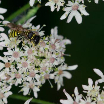 Ectemnius sp. (Grabwespe)