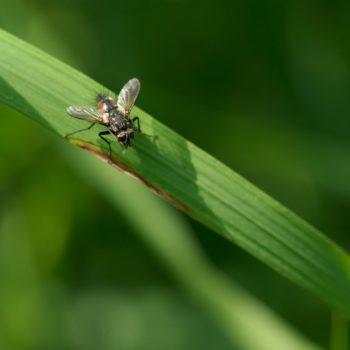 Eriothrix rufomaculatus (Rotgefleckte Raupenfliege)