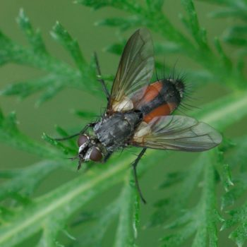 Eriothrix rufomaculata (Rotgefleckte Raupenfliege)