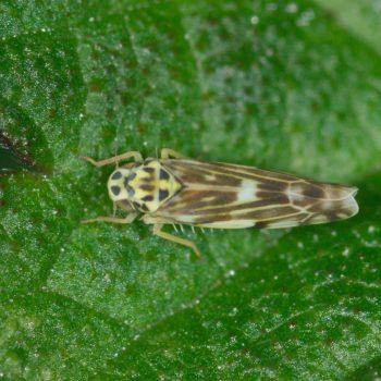 Eupteryx calcarata/urticae (Nesselblattzikade)