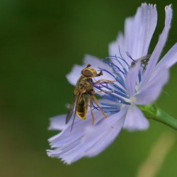 Ferdinandea cuprea (Gemeine Goldschwebfliege)