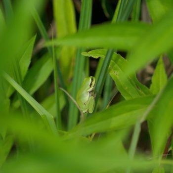 Hyla arborea (Europäischer Laubfrosch)