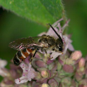 Lasioglossum calceatum (Furchenbiene)