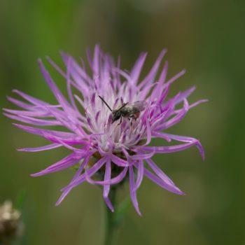Lasioglossum cf. calceatum (Furchenbiene)