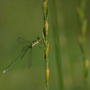 Lestes virens vestalis (Kleine Binsenjungfer)