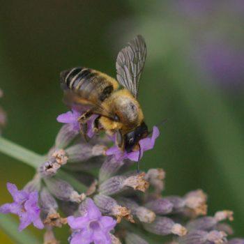 Megachile sp. (Blattschneiderbiene)