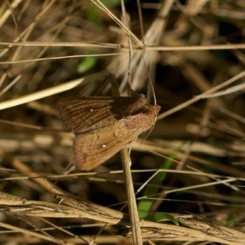 Mythimna albipuncta (Weißpunkt-Graseule)