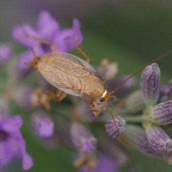 Planuncus tingitanus s. l. (Waldschabe)