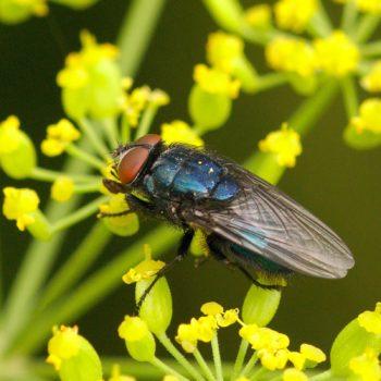 Protocalliphora azurea (Schmeißfliege)