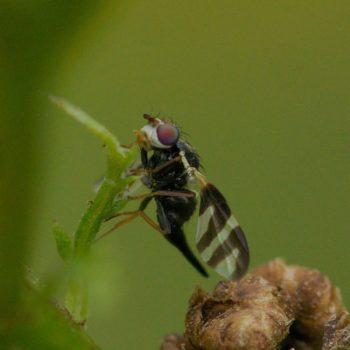 Urophora cardui (Distelbohrfliege)