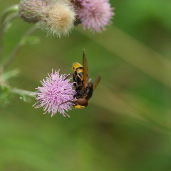Volucella zonaria (Hornissenschwebfliege)