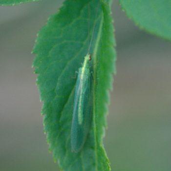 Chrysoperla carnea s. l. (Gemeine Florfliege)