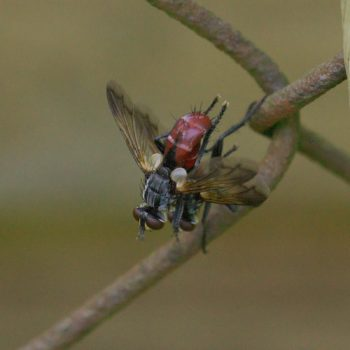 Cylindromyia bicolor (Raupenfliege)