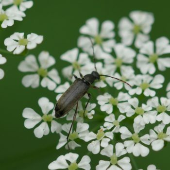 Grammoptera ruficornis (Mattschwarzer Blütenbock)